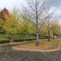 郊外の体育館の銀杏の木 3