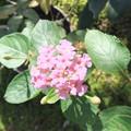 ランタナの花 2