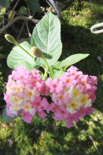 ランタナの花 3
