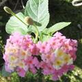 Photos: ランタナの花 3