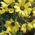 石蕗の花 2