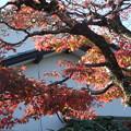 Photos: 庭の楓の紅葉