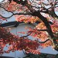 庭の楓の紅葉 2
