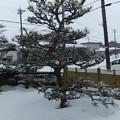 Photos: 牡丹雪が降っています 気温が高いから
