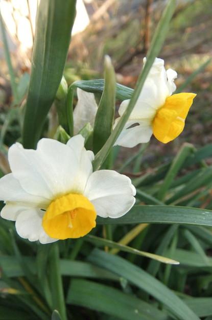 畑の日本水仙の花