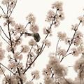 写真: 桜の香りに誘われて