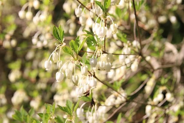 IMG_6246京都府立植物園・灯台躑躅