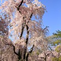 Photos: IMG_6419京都府立植物園・紅枝垂桜