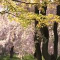Photos: IMG_6422京都府立植物園・いろは紅葉の新緑と紅枝垂桜