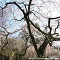 Photos: IMG_2768京都御所・近衞邸跡の糸桜