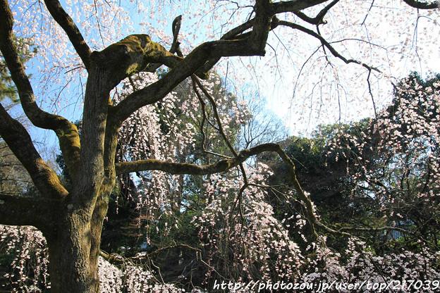 IMG_2776京都御苑・近衞の糸桜