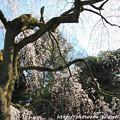 Photos: IMG_2776京都御苑・近衞の糸桜