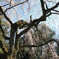 Photos: IMG_2779京都御苑・近衞の糸桜