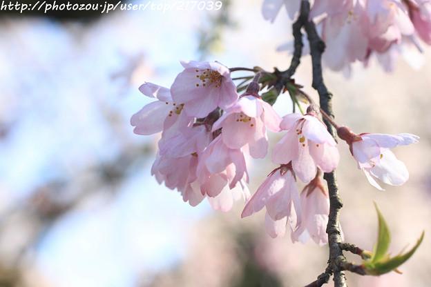 IMG_2784京都御苑・近衞の糸桜