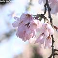 写真: IMG_2784京都御苑・近衞の糸桜
