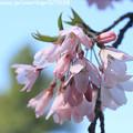 写真: IMG_2788京都御苑・近衞の糸桜