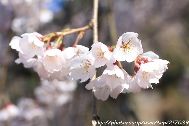 IMG_2799京都御苑・近衞の糸桜