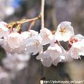 Photos: IMG_2799京都御苑・近衞の糸桜