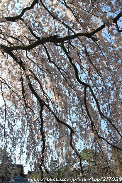 IMG_2803京都御所・糸桜