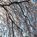 Photos: IMG_2803京都御所・糸桜
