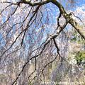 写真: IMG_2805京都御所・糸桜