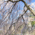 IMG_2805京都御所・糸桜