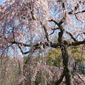 IMG_2822京都御所・出水の糸桜