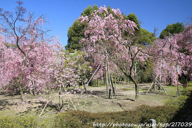 IMG_3127平安神宮・南神苑・八重紅枝垂桜