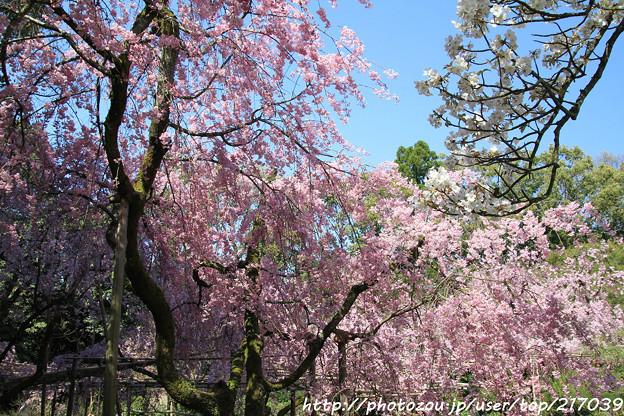 IMG_3141平安神宮・南神苑・八重紅枝垂桜と桜