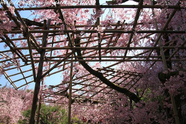 IMG_3164平安神宮・南神苑・八重紅枝垂桜