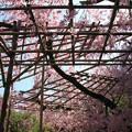 Photos: IMG_3164平安神宮・南神苑・八重紅枝垂桜