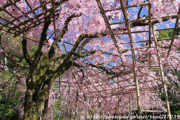 IMG_3170平安神宮・南神苑・八重紅枝垂桜