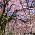 Photos: IMG_3170平安神宮・南神苑・八重紅枝垂桜