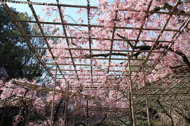 IMG_3176平安神宮・南神苑・八重紅枝垂桜