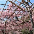 Photos: IMG_3192平安神宮・南神苑・八重紅枝垂桜