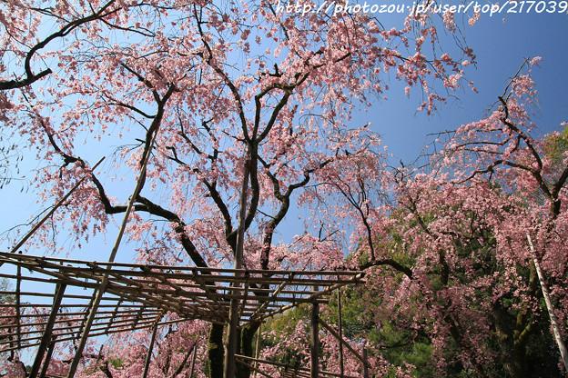 IMG_3196平安神宮・南神苑・八重紅枝垂桜