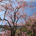 Photos: IMG_3196平安神宮・南神苑・八重紅枝垂桜
