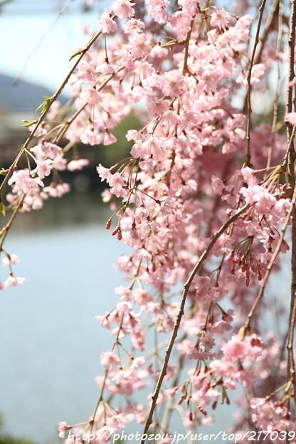 IMG_3267平安神宮・東神苑・紅枝垂桜