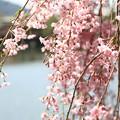 Photos: IMG_3267平安神宮・東神苑・紅枝垂桜