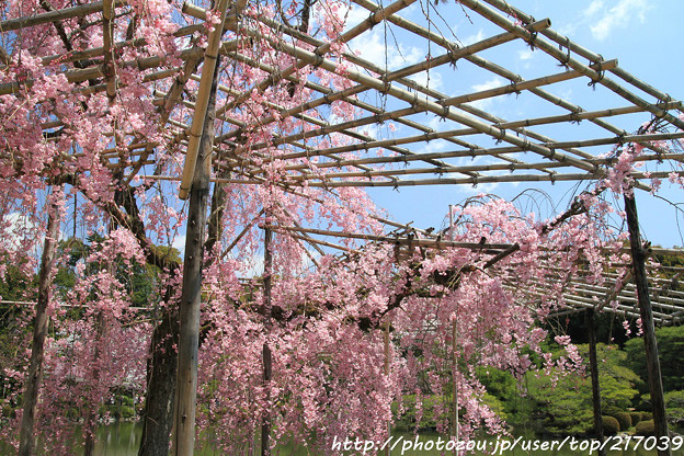 IMG_3314平安神宮・東神苑・八重紅枝垂桜