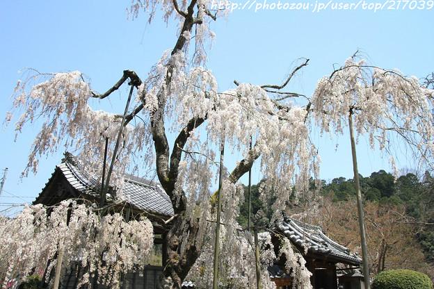 IMG_3633大野寺・小糸枝垂桜