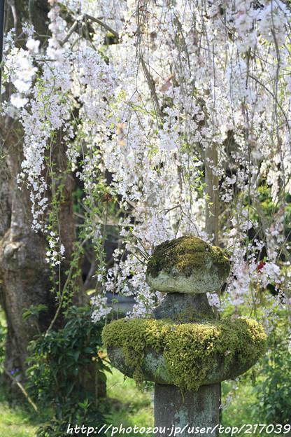 IMG_3643大野寺・石灯籠と小糸枝垂桜