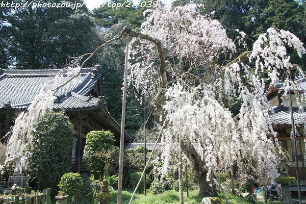 IMG_3645大野寺・小糸枝垂桜