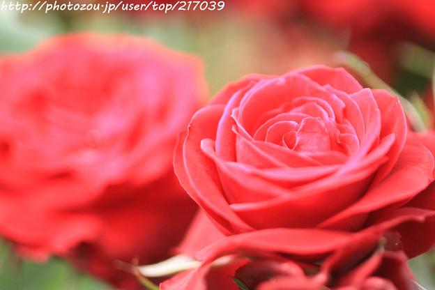 IMG_4763薔薇(ニコロ・パガニーニ)