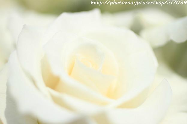 IMG_4837薔薇(エレガンス・アイボリー)