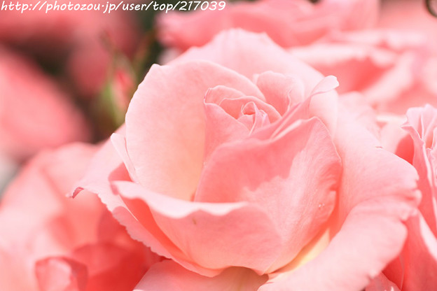 IMG_4842薔薇