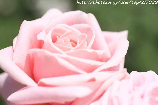 IMG_5031薔薇(フレデリック ミストラル)
