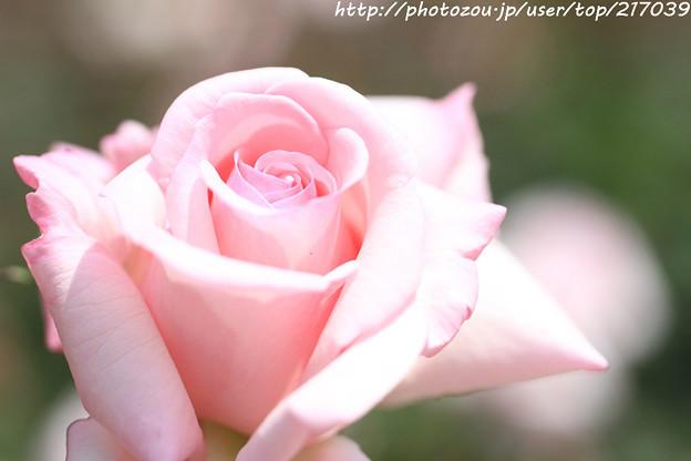 IMG_5044薔薇(スイート シャトー)