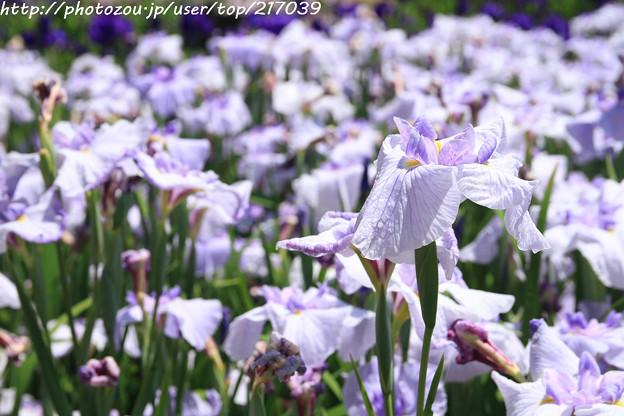 IMG_5610日本庭園・花しょうぶ田・花菖蒲(小笹川)