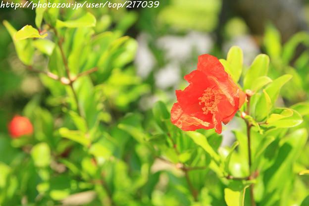 IMG_5638日本庭園・花しょうぶ田・石榴